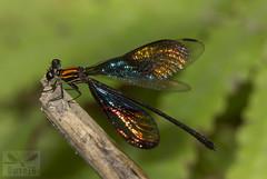 Chalcopteryx rutilans (Rambur, 1842) ( BlezSP) Tags: chalcopteryxrutilans glitterwing polythoridae madrededios peru faunaforever neotropical odonata damselfly dragonfly flash fauna forever