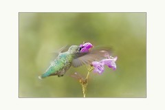 Let me through, i'm in a hurry (Krasne oci) Tags: bird birdinflight hummingbird hummer flying flowers summer backyard photoart artphotography painterly evabartos smallbirds