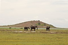 Just Tagging Along (The Spirit of the World) Tags: elephants youngelephant landscape water pools hill hillside kenya amboseli eastafrica africa safari nature wildlife gamedrive gamereserve nationalpark