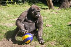 2017-07-09-11h53m59.BL7R4567 (A.J. Haverkamp) Tags: canonef100400mmf4556lisiiusmlens douli amsterdam noordholland netherlands zoo dierentuin httpwwwartisnl artis thenetherlands gorilla pobamsterdamthenetherlands dob27022012 bal ball verrijking enrichment nl
