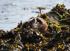 Briefly resting otter, Shetland main island (conrad_hanchett) Tags: otter sleepingotter sleep shetland june nikon wildotter shetlandislands wildotterencounter nikond500 sigma150600sport lutra marinewildlife