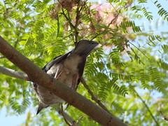022 Κισσα (omirou56) Tags: 43ratio sonydschx9v bird tree greece nature natur natura peloponnisos peloponisos peloponnese ελλαδα κισσα πελοποννησοσ πουλι φυση δεντρο σκια