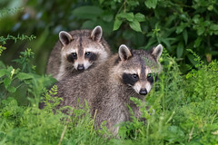 LittleRascals (jmishefske) Tags: greenfield cubs young 2017 nikon lagoon westallis kits d500 raccoon july park milwaukee pond county wisconsin
