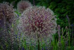 Allium flowers (frankmh) Tags: plant flower allium sofierocastlegarden helsingborg skåne sweden outdoor
