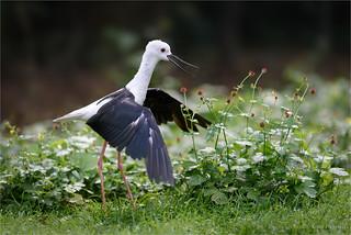excited black-winged stilt