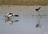 P6038150si (Henri Dedun) Tags: bird oiseau échasse tadorne