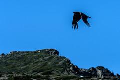Rainier Raven (matthucke) Tags: mountrainiernationalpark rainier mountrainier mountain washington