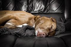 312/365 Asleep (christopher.czlapka) Tags: flickr tired asleep sleepy sleep photo project365 dogs dog