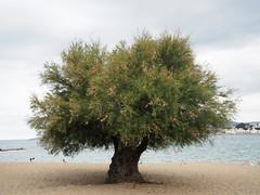 Tamarinde a la Platja de Grifeu (tgrauros) Tags: catalunya llançà arbres platjadegrifeu platges tamarinde tamarindusindica tamarindo tamarindus tamarind tamarinier tамаринд mardamunt