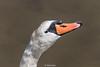Swan-0017.jpg (vorneo) Tags: familyanatidae binomialnamecygnusolor kingdomanimalia orderanseriformes speciescolor bird wildbird wild muteswan classaves swan phylumchordata genuscygnus