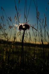 Divided (Ludwig Ohlson) Tags: finland scandinavia sunrise samyang 50mm xe2 fujifilm nordic summer midnightsun nature sun motljus