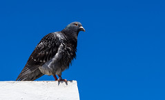 Puerto Del La Cruz, Tenerife, June 2017. (CWhatPhotos) Tags: bird blue clear sky skies pigeon puerto del la cruz tenerife going holiday holidays photographs photograph pics pictures pic picture image images foto fotos photography artistic that have which with contain olympus esystem four thirds digital camera lens 43 mft micro cwhatphotos