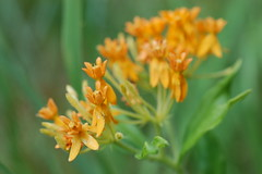 Butterfly Weed (moonwatcher13) Tags: butterflyweed milkweed asclepiastuberosa apocynaceae mlkpark whiteoak d40 wildflowers maryland