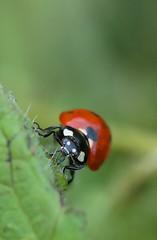 Coccinelle (Pittou2) Tags: envol de coccinelle ladybug luc nx nx30 samsung france byluc insecte macro video
