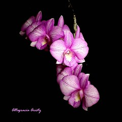 Orquídeas, Orchids, Orchidee (Altagracia Aristy Sánchez) Tags: orquídeas orchids orchidee laromana quisqueya repúblicadominicana dominicanrepublic caribe caribbean caraïbe antillas antilles trópico tropic américa fujifinepixhs10 fujihs10 altagraciaaristy blackbackground fondonegro fujifilmfinepixhs10