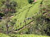 Teepflücker   tea picker Sri Lanka (flashpacker-travelguide.de) Tags: srilanka asien asia colombo kandy zugfahren zug train ella hochland highlands trainride green grün tee teeplantagen teaplantation teepflücker teapicker teeernte crop ernte
