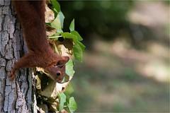 Ecureuil roux - Sciurus vulgaris (ChantCarr) Tags: écureuilroux mammifères podensac parcchavat nikond750 nikon2470 libreetsauvage naturewatcher