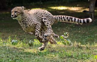 cheetah Burgerszoo BB2A6830
