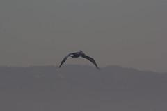 IMG_4031 (armadil) Tags: mavericks beach beaches californiabeaches bird birds pelican pelicans flying