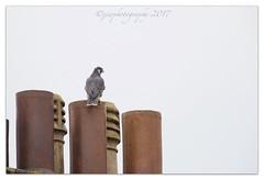 Juvenile Peregrine Falcon (cheffievrs) Tags: 1dxmarkii borderfx canon chick ef600mmf4lis fledgling leamingtonspa peregrinefalcon warwickshire warwickshirewildlifetrust wkwt