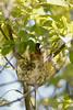 _53F8369 Philadelphia Vireo (~ Michaela Sagatova ~) Tags: philadelphiavireo birdphotography canonphotography michaelasagatova vireo