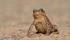 Common Toad (Bufo bufo). (Bob Eade) Tags: wildlife commontoad bufobufo woodland summer sussex nature nikon amphibian waterlife