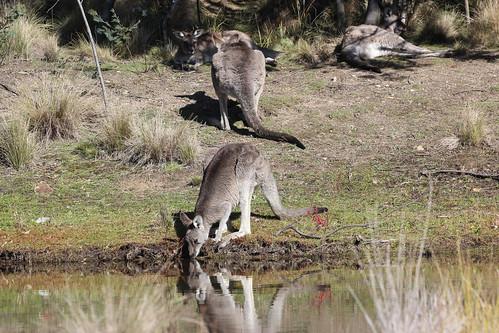 Macropus giganteus giganteus (Eastern Grey Kangaroo)