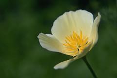 "Fieldflower gots ""Je ne sais pas Quoi ..."" (Myk499 - Pure & Simple.) Tags: myk499nikond3300 closeup nature outdoor nikon1855mm flora flower plant macro"