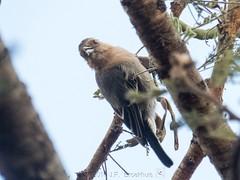 Red-Throated Tit (Makgobokgobo) Tags: redthroatedtit tit bird olaremotorogiconservancy olaremotorogi olare omc mara kenya africa melaniparusfringillinus melaniparus