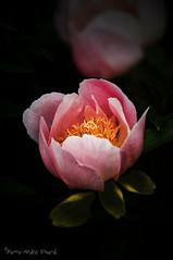 Jeune Pivoine ... ( P-A) Tags: pivoine espèce fleur botanique platebandes couleurs harmonie parfum visiteurs touristes beauté agencement photos simpa© photoquébec
