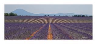 Plateau de Valensole - Lavendelkultur