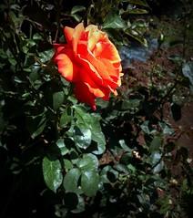 Rose flower, роза (Anna Gelashvili) Tags: цветокроза роза rose flower цветок flowers цветочки garden roseflower