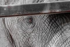 Eye see you (Tony_Brasier) Tags: elephants howletts hot african zoo kent black walking water wood working england nikon d7200 tamron 70300mm fun flickr farm