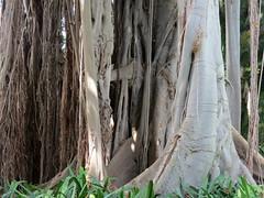 Ficus macrophylla (Linda DV) Tags: lindadevolder canonpowershotsx40hs canaryislands canarias tenerife 2017 nature ribbet rosales ficus moraceae