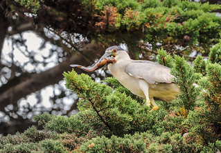 Black-crowned Night-Heron [Huairavo] (Nycticorax nycticorax obscurus)