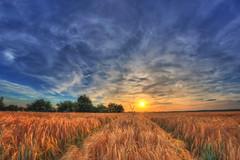 Golden Land (M-Z-Photo) Tags: ansbach bayern deutschland de hdr felder getreide sonnenuntergang abendstimmung himmel wolken spuren