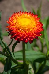Helichrysum monstrosum 'Fireball Red' (Alan Buckingham) Tags: garden greatdixter helichrysummonstrosumfireballred orange red strawflower summer