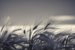 field of barley (blattboldt) Tags: gerste barley sommer summer 大麥 orge orzo cebada 大麦 夏 verano estate été 夏天 sony ilce7sm2 alpha7sii zeiss loxia2485sonnar loxia2485 shadow schatten lichtundschatten lightandshadow silhouette blackwhite biancoenero noiretblanc 黑白 白黑 specialthankstochristophecasenavefromzeissforhispersonalinvolvementinthedevelopmentoftheloxialenses jena thüringen thuringiagermany nature emount sonyflickraward