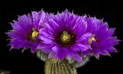 Echinocereus sp (clement_peiffer) Tags: echinocereus sp flowerscolors d7100 105mm cactaceae succulent peiffer clement nikon cactus fleurs flower spines epines kaktusi кактуси