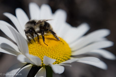 Oxeye Daisy with Bee (stephaniepluscht) Tags: montana 2016 glacier national park polebridge oxeye daisy leucanthemum vulgare bee
