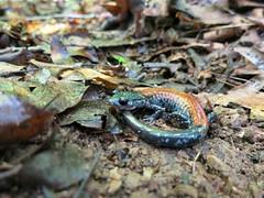 Yonahlossee salamander (Plethodon yonahlossee) (nicholasrmassey) Tags: yonahlossee salamander plethodonyonahlossee linvillegorge linville gorge plethodon fauna amphibian pisgahnationalforest wildlife northcarolina