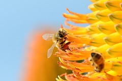 Honey Bee 2587 (2a) (bevanwalker) Tags: bee pollen nectar winter nikon 100mmf28 aloe thaskii flower plant orange