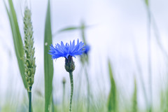 Cornflower And Wheat (Alfred Grupstra) Tags: nature plant flower summer closeup outdoors meadow field grass springtime beautyinnature greencolor season flowerhead growth macro ruralscene blue purple blossom cornflower light wheat