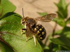 Anthidium (Anthidium) cf. loti (Orlando Bees) Tags: solitarybee solitärbiene abeille abejasolitaria wollbiene woolcarder bee
