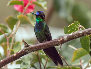 IMG_5798 Violet-fronted Brilliant