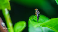 Standing Fly (Dabawenyo Ako) Tags: fly canon sony mpe insect macro