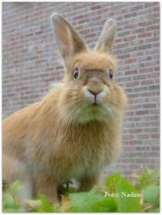 Runaway Bunny (Nadine V.) Tags: rabbit konijn bunny wooly lapin panasonic panasonicdmcfz200 lumix fz200 inourgarden knaagdier rodent dmcfz200