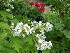 2017 Germany // Unser Garten - Our garden // im Juni // Hortensie (Hydrangea) (maerzbecher-Deutschland zu Fuss) Tags: 2017 garten natur deutschland germany maerzbecher garden unsergarten juni hortensie hydrangea