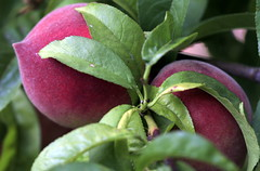 peaches (JoelDeluxe) Tags: southvalley newmexico nm deluxevalleyorchards peaches flowers red orange yellow green joeldeluxe