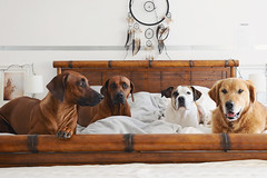27/52 Edgar in bed with his besties (Jutta Bauer) Tags: 52weeksfordogs 52weeksforedgar 2752 excellentedgar boxermix pitbullmix goldenretriever rhodesianridgeback dogs pack together friends
